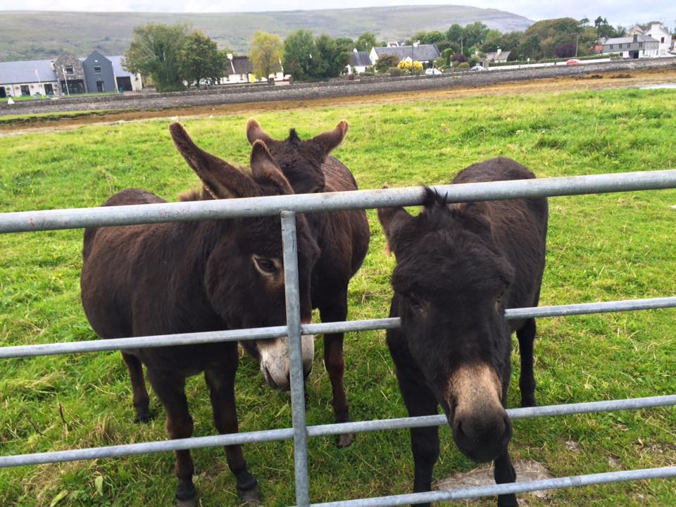 Donkey in Ballyvaughan